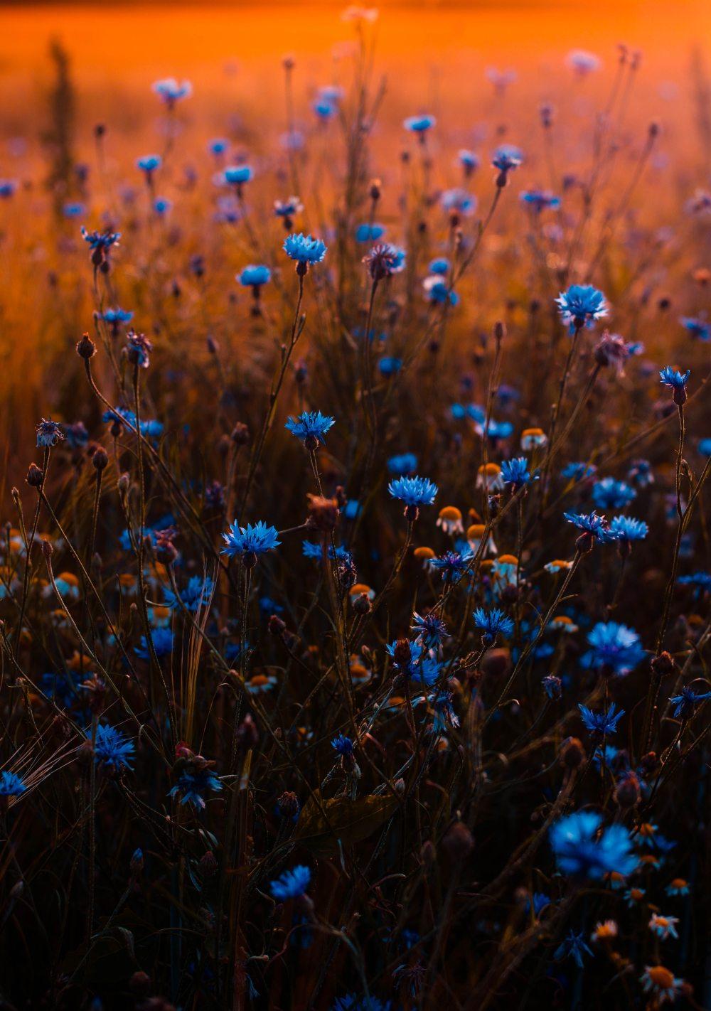 blue-flowers-blur-buds-673857
